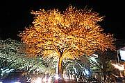平和通のライトアップされた桜