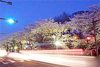 水戸市三の丸の夜桜