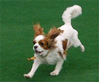 ドッグランで疾走する愛犬・未来:クリックすると大サイズ写真あり