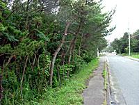 十王町伊師浜の防風林伐採現場