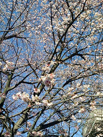 桜川河畔の桜