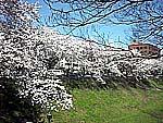 茨城県庁前の桜満開